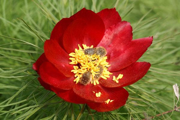 Рисунки цветов попавшие в красную книгу